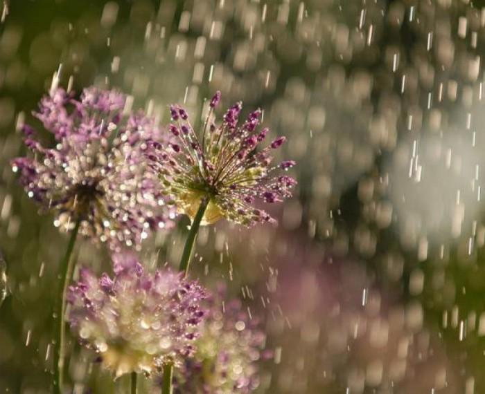Когда идет дождь, живые растения реагируют весьма своеобразным образом. /Фото: poetryclub.com.ua