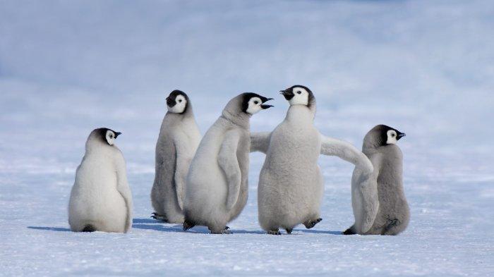 Пингвины-самки отличаются весьма легкомысленным поведением. /Фото: dreempics.com