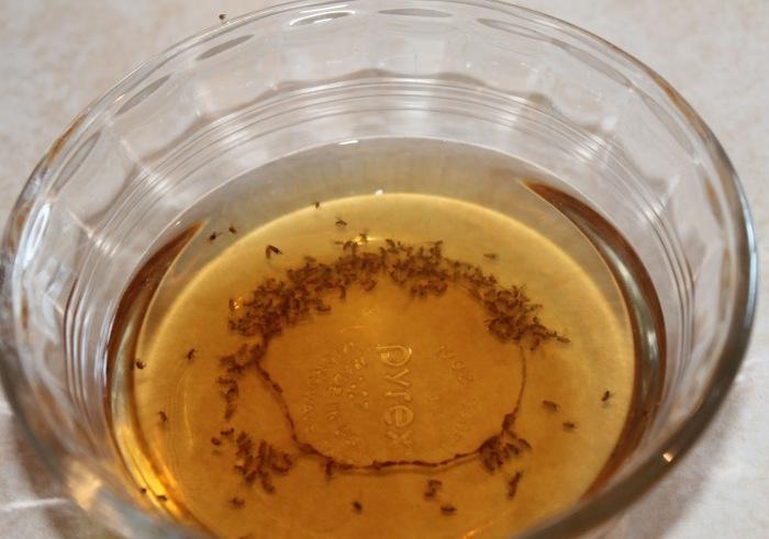 Хорошее вино можно выпить, а остатки использовать для ловли насекомых. /Фото: onlinepestcontrol.com