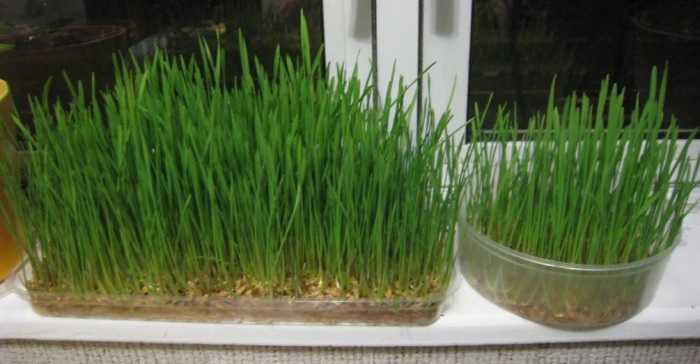 Зелень, выращенная дома — ощутимая экономия денег. /Фото: avatars.mds.yandex.net
