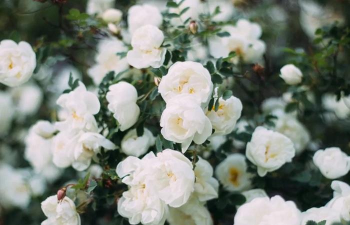 С розами любой участок превращается в райский уголок.