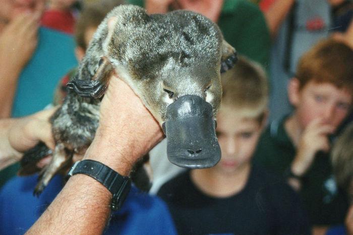 Утконосы — уникальные млекопитающие. /Фото: cdn.postnews.ru