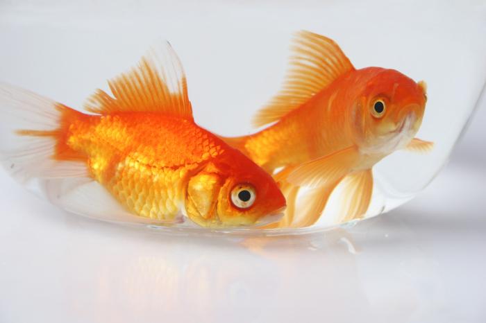 Если вы в Швейцарии, то купите две золотые рыбки. /Фото: washingtonhello.com