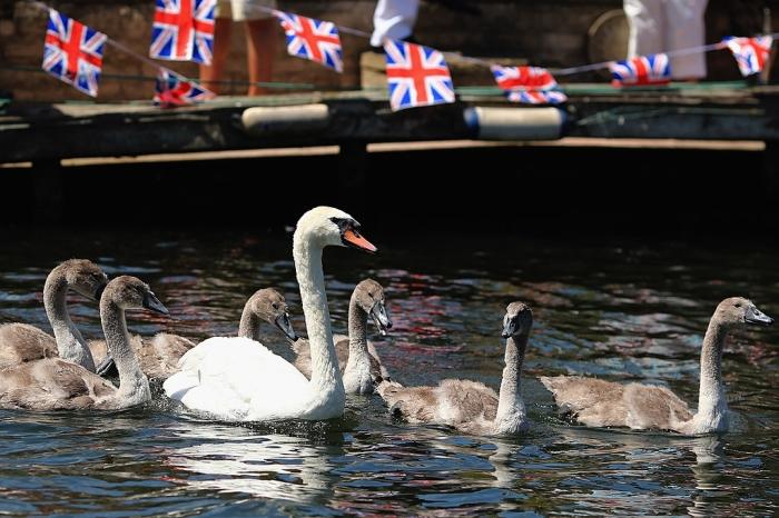 Лебедей в Англии может отведать только королева. /Фото: media.mnn.com