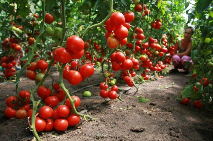 Сода — это простое и доступное средство для улучшения урожая помидоров. /Фото: bashagroplast.com