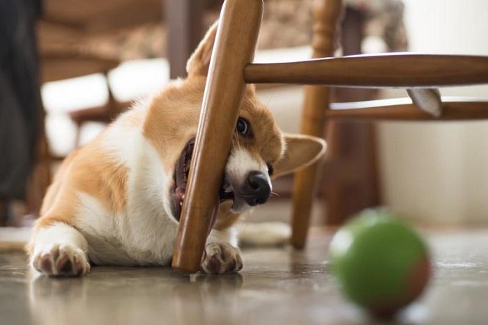 Ваш пушистый любимец без ума от ножек стола? Достаем мыло и сохраняем их в целости. /Фото: dogs-fan.club