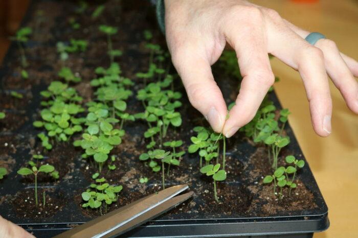 Прореживание сеянцев – еще один шаг к получению крепкой рассады. /Фото: novicegardening.com