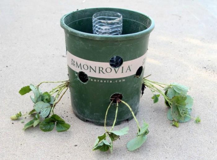 Оригинальный способ выращивания богатого урожая клубники. /Фото: images.kienthuc.net.vn