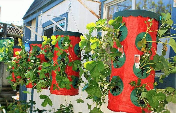 Клубнику можно выращивать в любом уголке дачного участка.