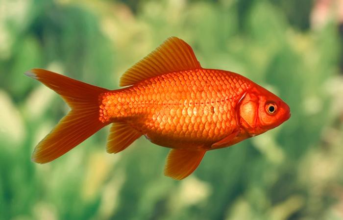 На самом деле золотые рыбки намного умнее, чем мы думаем. /Фото: blog.tetra.net