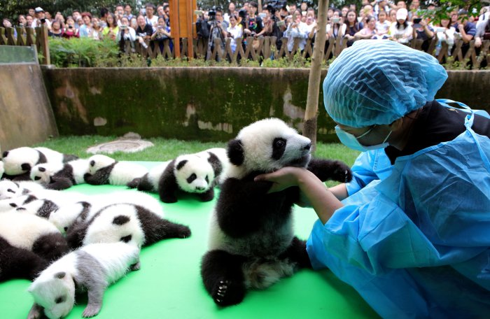 Милые панды считались в Китае королевским подарком. /Фото: thenypost.files.wordpress.com