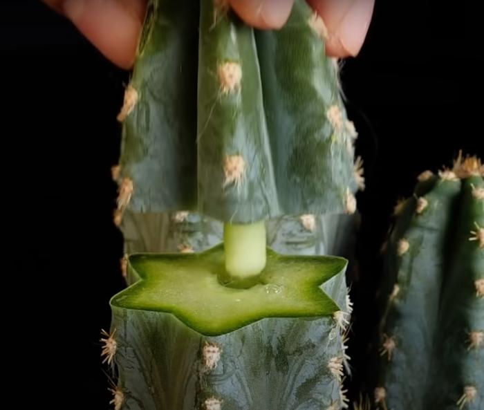 Даже полностью сломанный кактус можно восстановить с помощью простого лайфхака. /Фото: youtube.com