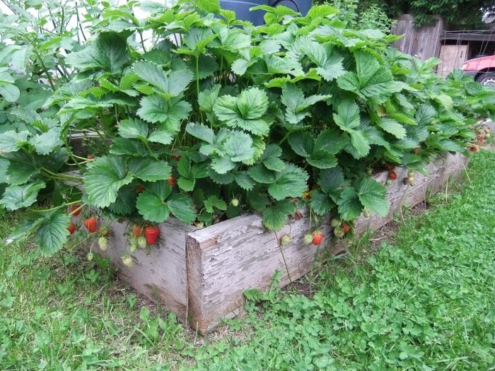 Еще один достаточно оригинальный способ выращивания вкусных ягод. /Фото: howtogrowfoods.com