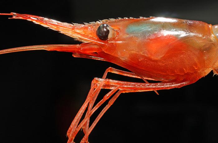 Пистолетная креветка — один из самых громких обитателей океана. /Фото: natur.gl