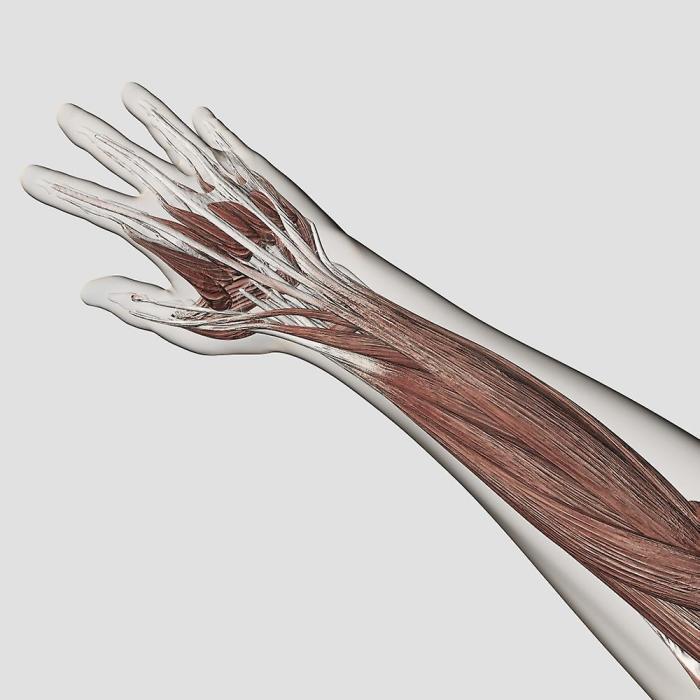 Длинная ладонная мышца есть не у всех. /Фото: img.fruugo.com