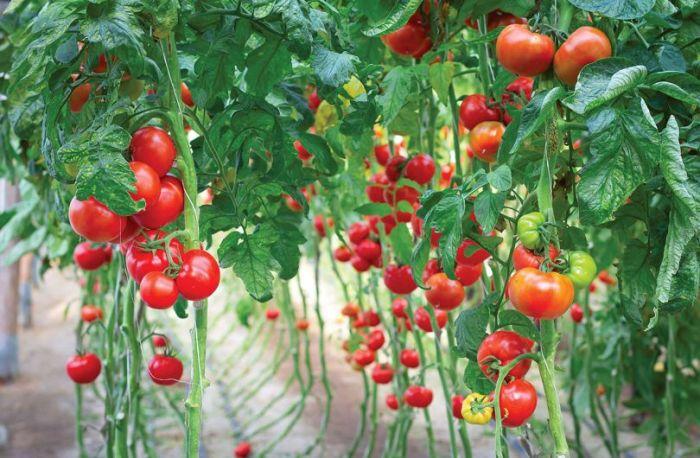 Огородные культуры подразделяются на несколько групп в зависимости от любви к солнцу. /Фото: superdom.ua