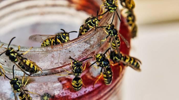 Сахарная ловушка – простое средство для избавления участка от ос. /Фото: i0.wp.com