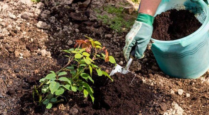 Чтобы розы росли и радовали, использовать компост нужно в подходящее время. /Фото: howtogrow.news