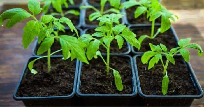 Вытянувшуюся рассаду еще можно спасти, подсыпав земли или прищипнув верхушку. /Фото: cdn.shortpixel.ai