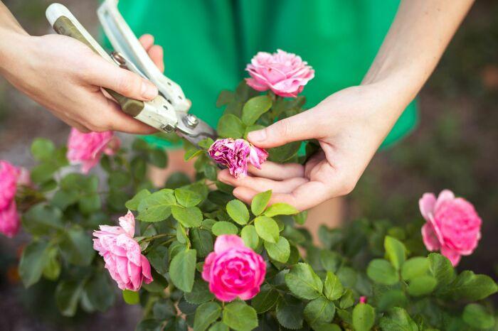 Правильный уход за розами гарантирует красивое и обильное цветение. /Фото: thumbs.web.sapo.io