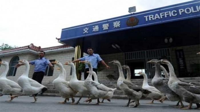 Гуси на службе в полиции: такое можно увидеть только в Китае. /Фото: planetitfarrag.s3.eu-west-1.amazonaws.com