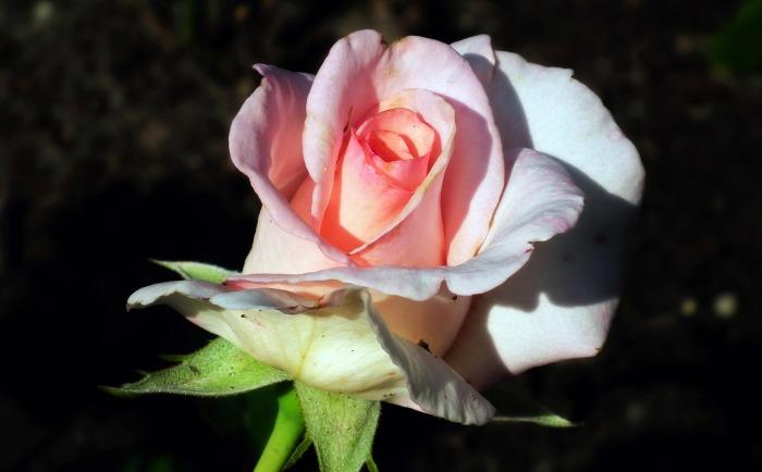 Хочется, чтобы розы никогда не болели. /Фото: cdn.pixabay.com