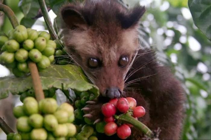 Циветта лакомится кофейными ягодами. /Фото: s1.bukalapak.com