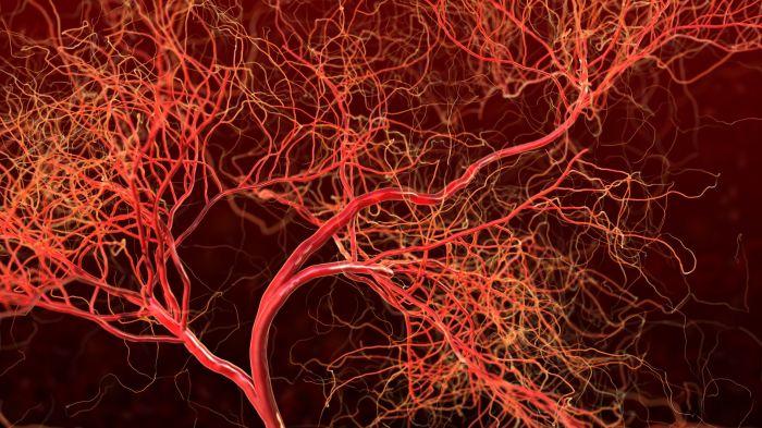 Если сделать веревку из всех капилляров человеческого тела, то ей можно обмотать Землю несколько раз. /Фото: verywellhealth.com