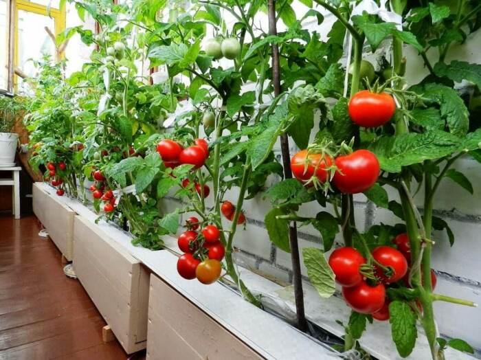 Обильный урожай вкусностей прямо на подоконнике. /Фото: gusiyabloni.com