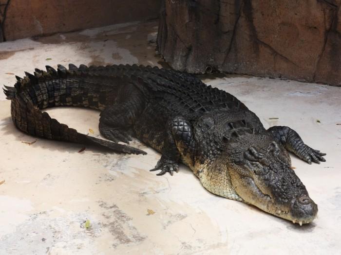 Взрослый крокодил. /Фото: mir24.tv