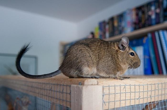 Маленькая дегу. /Фото: www.google.com.ua