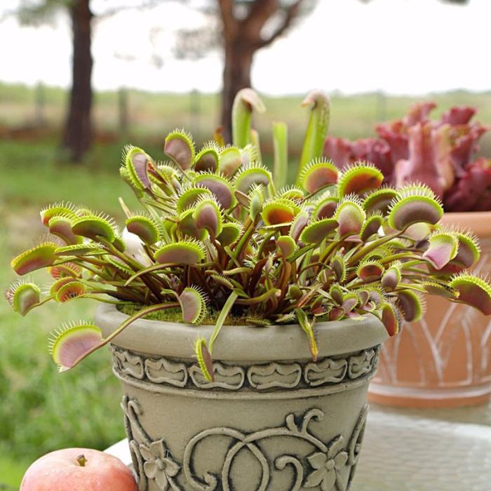Хищное домашнее растение — диковинка для подоконника. /Фото: ae01.alicdn.com