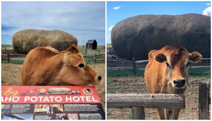 Всеобщая любимица Долли очень любит встречать гостей Big Idaho Potato Hotel и выпрашивать у них вкусняшки.
