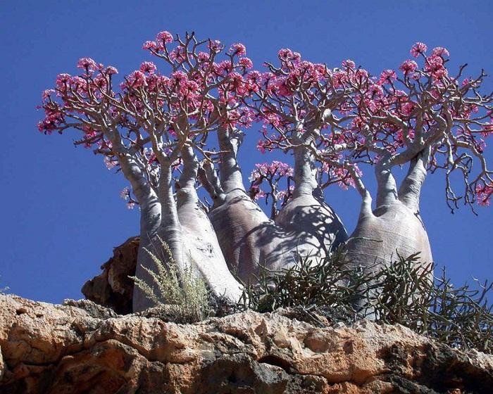 Роза острова Сокотра.