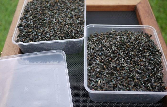 От такого количества мух можно избавиться за неделю.