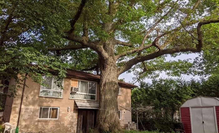 Дом постепенно разрушается из-за тесного соседства с 300-летним дубом (Торонто, Канада). | Фото: toronto.ctvnews.ca.