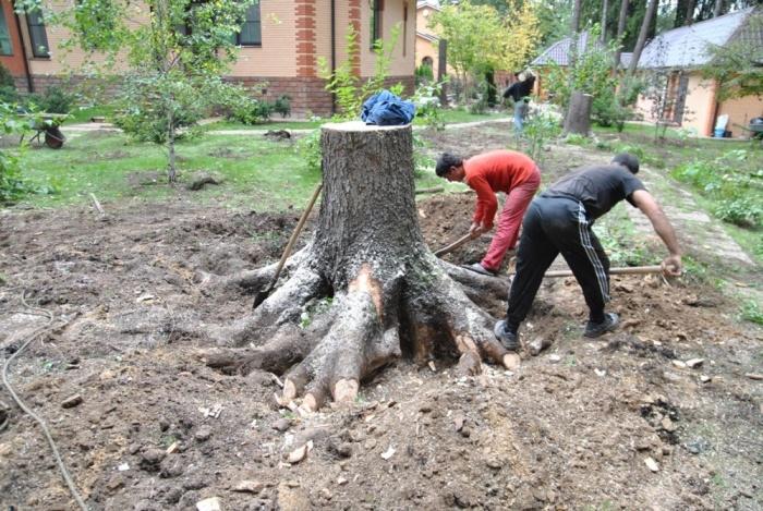 Выкорчевать пень большого дерева на дачном участке под силу только крепким мужчинам.   Фото: jenskiymir.com.