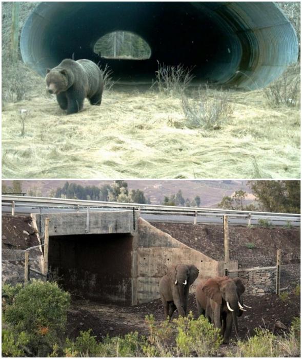Медведи и слоны тоже знают, где можно переходить оживленные автострады (Канада, Кения).