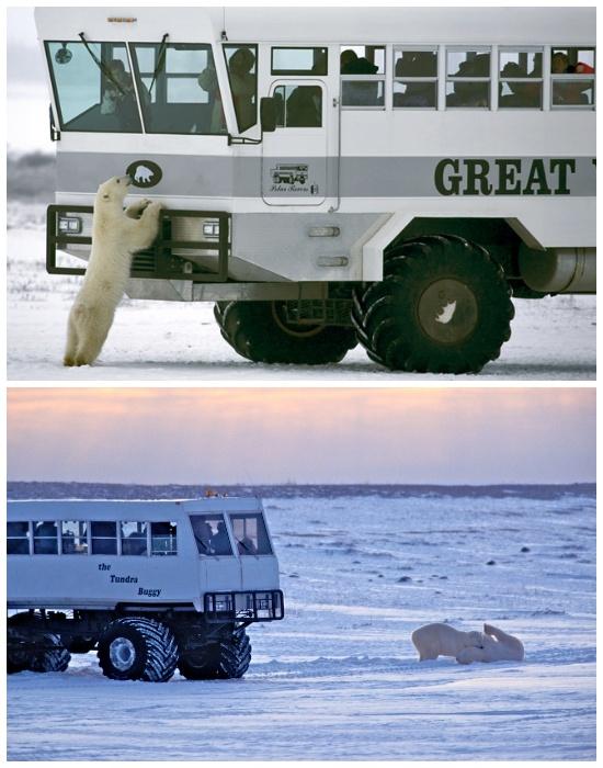 С октября по декабрь все желающие смогут наблюдать за поведением белых медведей в естественной среде обитания (отель Tundra Lodge, Канада).