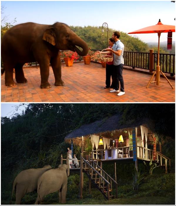 Гостям курорта разрешается угощать слонов вкусностями, а они за угощением могут наведаться даже на открытую террасу ресторана («Anantara Golden Triangle Elephant Camp & Resort», Таиланд). | Фото: booking.com/ youtube.com, © Luxuori.