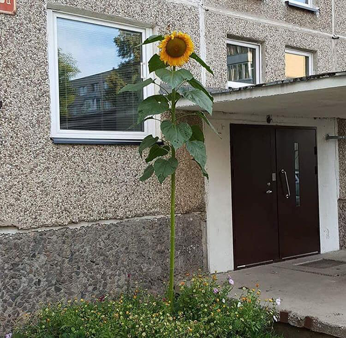 Даже одинокий подсолнух может стать украшением. | Фото: boredpanda.com.