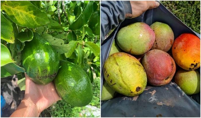 Ребята увлеклись выращиванием экзотических фруктов.