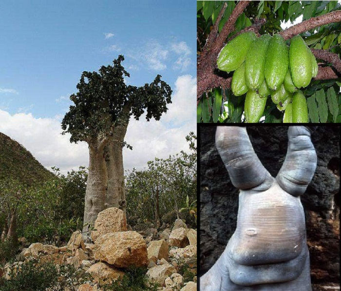 Экзотическое огуречное дерево на острове Сокотра.