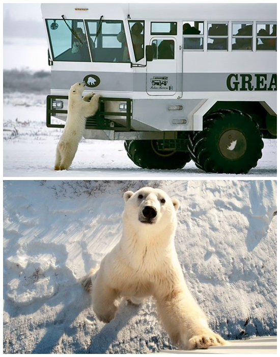 Любопытные медведи не боятся подходить близко к автобусам и даже заглядывать внутрь (отель Tundra Lodge, Канада).