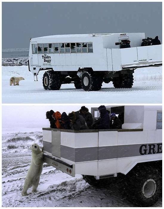 Автобусы-вездеходы позволяют туристам находиться в близости к хищным животным (отель Tundra Lodge, Канада).