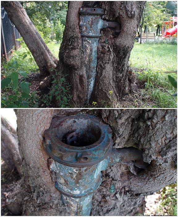 Тесные «объятия» ясенелистного клена и водозаборной колонки. | Фото: rblogger.ru/ moscowseasons.com.