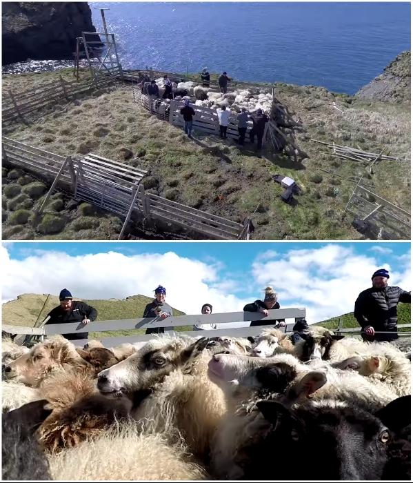 Стадо овец стало дополнительным развлечением для путешественников (о.Эдлидаэй, Исландия). | Фото: youtube.com/ © Torz Film.
