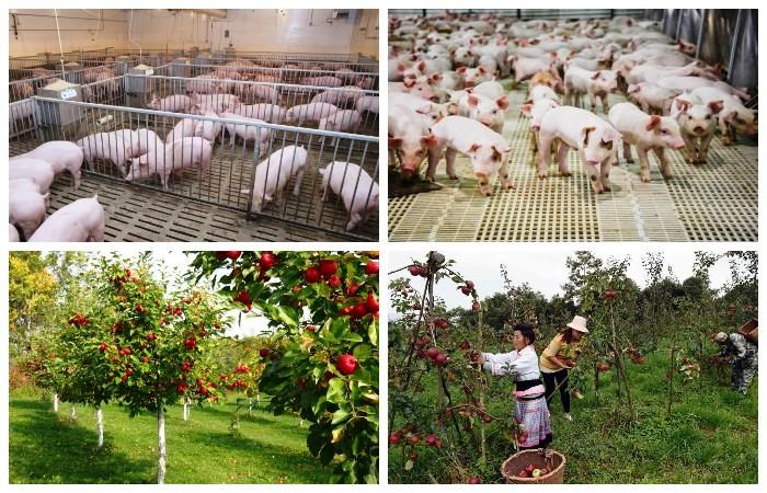 Чэнь Шэн планировал построить свиноферму и посадить фруктовые сады в родной деревне.