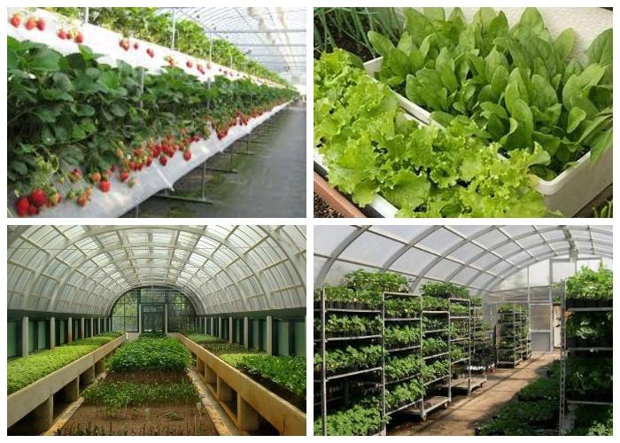 Культуры в теплицах лучше выращивать в контейнерах, полках или стеллажах, чтобы избежать заболеваний.