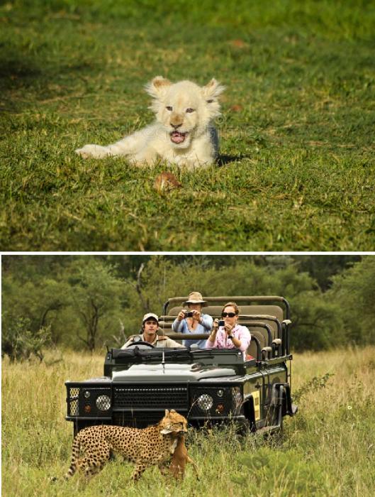 Незабываемые впечатления от наблюдения за животными в естественной среде обитания оставят неизгладимые впечатления (Kruger National Park, ЮАР). | Фото: ru.dreamstime.com/ iteam-usa.com.